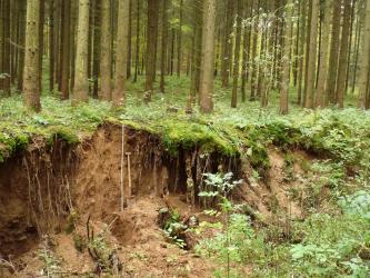 Das Foto zeigt ein Bodenprofil unter dichtem Nadelwald. Neben dem etwa 1,80 m tiefen, rotbraun gefärbten Profil öffnen sich links und rechts höhlenartige Vertiefungen. Rechts und im Vordergrund ist Pflanzenwuchs erkennbar.