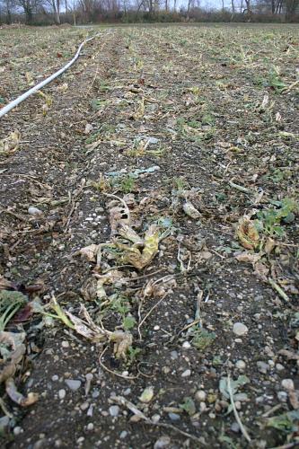 Das Bild zeigt einen vertikal verlaufenden schwarzbraunen Acker mit Steinen und Pflanzenresten. Links verläuft eine Wasserleitung.