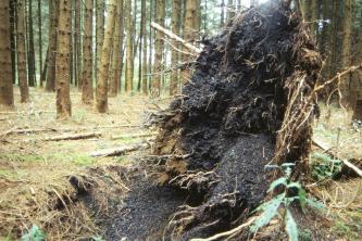 Das Bild zeigt den umgestürzten Wurzelballen eines Baumes inmitten eines Nadelwaldes. Die Erde um die Wurzeln ist von schwärzlicher Farbe.