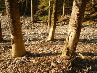 Im Vordergrund des Bildes sind drei Baumstämme im Wald zu sehen, welche im unteren Drittel keine Rinde mehr besitzen.