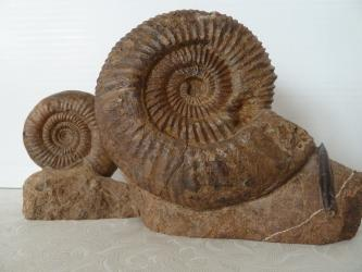 Nahaufnahme zweier brauner Fossilien mit unterschiedlich großen spiralförmigen Gehäusen. Beide Fossilien sind auf einer Art steinernem Sockel festgewachsen.