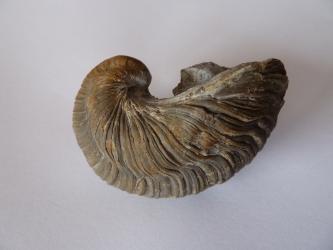 Nahaufnahme einer versteinerten Muschelschale aus dem Jura. Das bauchige Fossil hat unten eine halbrunde Form, einen abgeflachten Rand und ist braun und grau gebändert.
