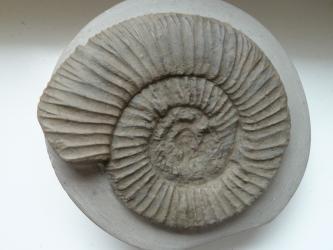 Nahaufnahme eines versteinerten, spiralförmigen Fossils. Das Gehäuse eines urzeitlichen Kopffüßers ist grau gefärbt und weist rundum verlaufende Rillen auf.