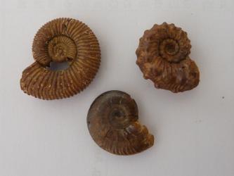 Nahaufnahme von drei spiralförmigen Fossilien als nach unten gerichtetes Dreieck. Die Gehäuse von Kopffüßern sind dunkelbraun bis schwärzlich und weisen ringförmige Vertiefungen auf. Das Fossil oben rechts zeigt zudem hornartige Auswüchse.