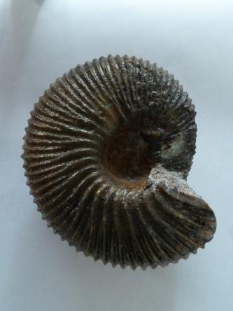 Nahaufnahme eines versteinerten Fossils mit spiralförmigem Körper. Das schwärzliche Fossil liegt vor hellem Hintergrund. Es weist zahlreiche ringförmige Vertiefungen und Wulste auf.