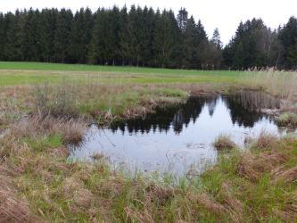 Blick auf eine kleine, unregelmäßig geformte Wasserfläche, deren Ränder mit Schilf und anderen Moorpflanzen bewachsen sind. Im Hintergrund Wiesen und angrenzender Wald.
