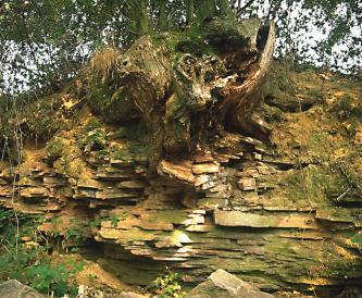Das Bild zeigt eine grünlich braune, waagrecht gebankte Gesteinsböschung. In der oberen Mitte ragen die Reste eines teils abgesägten, teils abgebrochenen Baumstumpfes aus der Böschung.