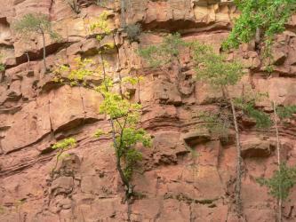 Nahaufnahme eines aufgelassenen Steinbruchs aus rötlichem Sandstein, der in verschieden mächtigen Bänken ansteht. Die Gesteinswand ist vereinzelt bewachsen.