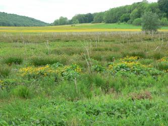 Blick über verschiedene, zum Teil blühende Pflanzen auf einer Feuchtwiese. Im Hintergrund sind nach links und rechts ansteigende, bewaldete Hügel zu erkennen.