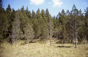 Das Bild zeigt eine Ansammlung von Bäumen auf einer bräunlich grünen Grasfläche. Zwischen den Laub oder Nadeln tragenden Bäumen stehen auch abgestorbene Exemplare.