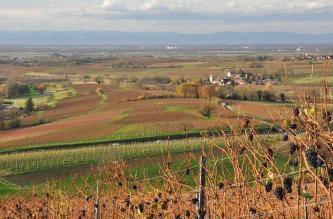Blick über herbstlich verfärbte Reben in eine Ebene mit vielen Feldern, vereinzelten Baumgrüppchen und kleinen Siedlungen. Am Horizont ist eine Bergkette zu erkennen.