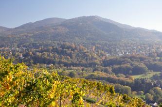 Blick von erhöhtem Standpunkt über gelb leuchtende Reben in ein Tal mit vielen Baumgruppen und auf einen bewaldeten Berg.