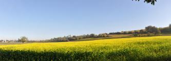 Das Panoramabild zeigt ein blühendes, leicht nach rechts ansteigendes Rapsfeld. Dieser Linie folgt ein im Hintergrund liegender, teilweise bewaldeter brauner Hügel.
