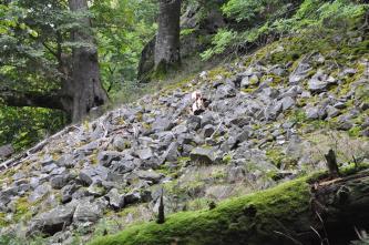 Das Bild zeigt einen nach links abfallenden Waldhang, auf dem sich reichlich Gesteinsschutt abgelagert hat.