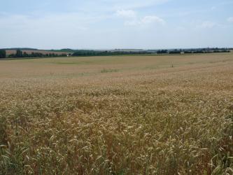 Das Bild zeigt ein ebenes Getreidefeld, das bis zu dünnen Waldstreifen am Horizont reicht. Auch dahinter ist die Landschaft flach. Nur links steigt das Gelände etwas an.