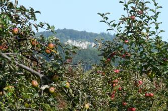 Nahaufnahme von Zweigen mehrerer Apfelbäume. Im unscharfen Hintergrund ein bewaldeter Höhenzug mit Felswänden unterhalb der Kuppe.