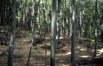 Das Bild zeigt einen leicht nach rechts abfallenden, teilweise buckligen Waldboden mit sehr dicht stehenden, schlanken grauen Baumstämmen.