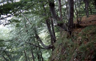 Rechts im Bild ist die Kante eines Abhanges zu sehen, an dem sich noch Buchen festklammern. Teilweise wachsen die Stämme dabei schräg, oder sogar beinahe waagrecht.