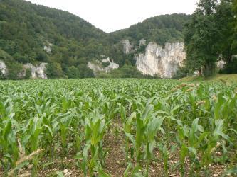 Das Bild zeigt ein großes Maisfeld. Rechts begrenzen höher stehende Bäume, im Hintergrund bewaldete Hänge, unterbrochen von einigen gelblich grauen Felsen, das Feld.
