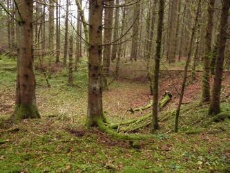 Schlanke, hohe Nadelbäume stehen um eine dunkler gefärbte Vertiefung im Waldboden.