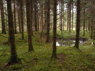 Das Bild zeigt einen dichten Nadelwald, in dessen Mittelgrund rechts eine mit Wasser und Astwerk gefüllte ovale Grube und links ein daran anschließender Erdhügel erkennbar sind.