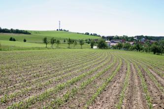 Das Bild zeigt mehrere, im Hintergrund zusammenlaufende Pflanzenreihen eines großen Ackers. Links dahinter erhebt sich eine kahle grüne Anhöhe, rechts verbirgt sich hinter Bäumen eine Siedlung.