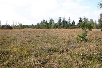 Den Großteil des Bildes beherrscht hier hochgewachsenes, bräunlich grünes Heidekraut. Im Hintergrund begrenzen die Spitzen eines Mischwaldes die Heide.