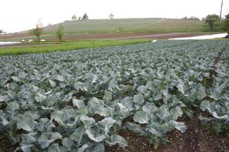 Blick auf einen mit großblättrigen Gemüsepflanzen bewachsenen Acker. Im Hintergrund ein mit Rebstöcken bestandener länglicher Hügel.
