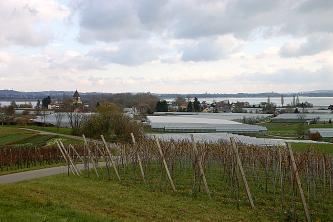 Blick auf die Insel Reichenau, mit Rebstöcken im Vordergrund. Dahinter eine Kirche und Gewächshäuser sowie der Bodensee.