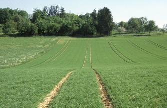Wie ein ausgerollter grüner Teppich breitet sich eine von vertikalen Fahrspuren durchzogene wellige Ackerfläche bis zum Hintergrund aus, den eine dichte Baumgruppe links sowie eine Streuobstwiese rechts begrenzen.