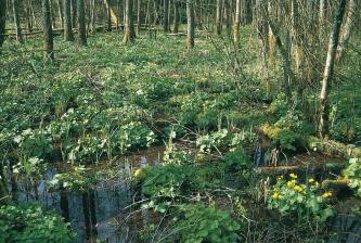 Das Bild zeigt ein mit Grünpflanzen bewachsenes stehendes Gewässer sowie einen dicht begrünten Wald. Die Grenze zwischen Wasser und Waldboden ist dabei nur schwer zu erkennen.