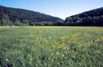 Der Blick geht über ein ein weites, blühendes Grünlandfeld, das bis zur Bildmitte reicht. Dahinter steigen links und rechts bewaldete Hänge an.
