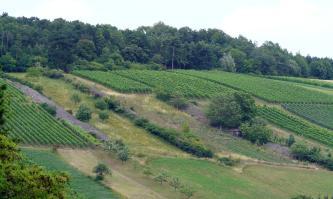 Blick auf einen nach links ansteigenden Hang mit einem Mosaik aus Rebstöcken, drei Steinriegeln und Streifen von aufgelassenen Flächen. Die Kuppe des Hanges ist bewaldet.