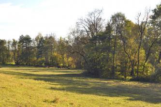 Das Bild zeigt eine gelbgrüne, von schlanken Bäumen begrenzte Wiese. Im Hintergrund links weiden Rinder.