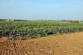 Das Bild zeigt im Vordergrund zwei unterschiedliche, hoch gelegene Ackerflächen; kahl und hellbraun der vordere, dicht bepflanzt der hintere. Im Hintergrund sind zahlreiche Windräder zu erkennen.