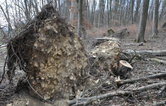 Auf dem Bild ist der Wurzelbereich mit steinigem Boden eines umgestürzten Baumes in einem kargen Wald zu sehen.