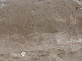 Nahaufnahme eines beige bis bräunlichen Gesteins. Im unteren Drittel ist dieses etwas heller und strukturiert. Auf der gesamten Oberfläche sind kleine dunkle Flecken zu erkennen, das sind Fossilien. Links unten liegt eine Münze als Maßstab.