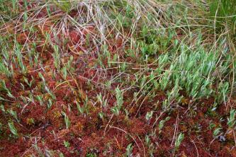 Nahaufnahme von braunem Moos und grünem Heidegewächs.
