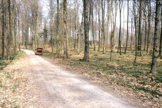 Das Bild zeigt einen lichten Wald mit hohen, schlanken Bäumen. Links führt ein Fahrweg durch den Wald.