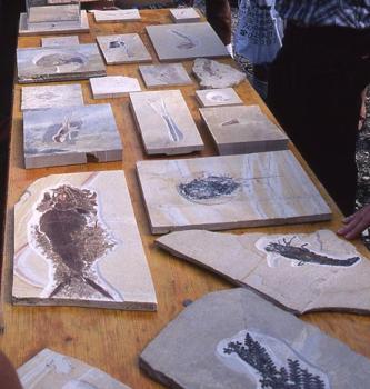 Mehrere Fundstücke von versteinerten Pflanzen und Tieren sind auf einem Holztisch ausgelegt.